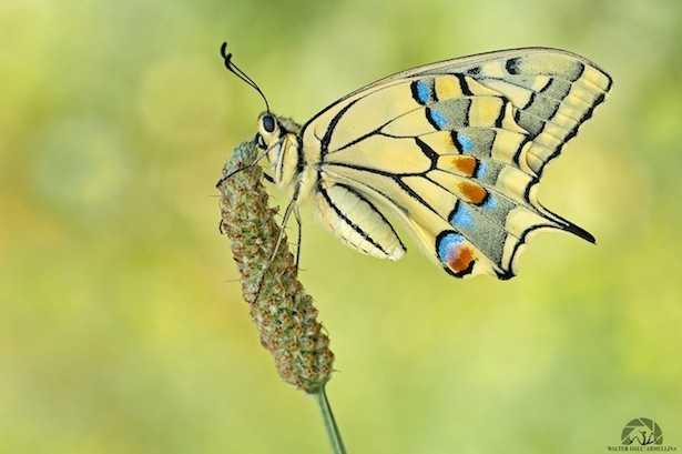 - Papilio machaon -