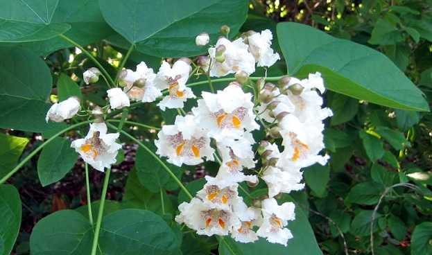 pianta antizanzara