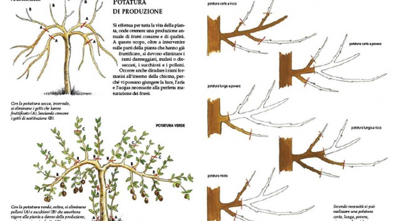 Foto Di Alberi Da Frutto alberi da frutto, la potatura - idee green