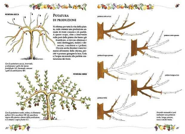 La potatura delle piante dei fiori for Potatura alberi da frutto