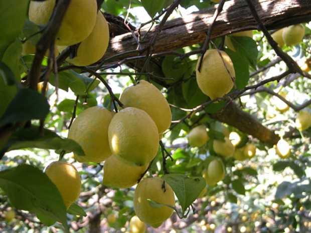 Come potare i limoni