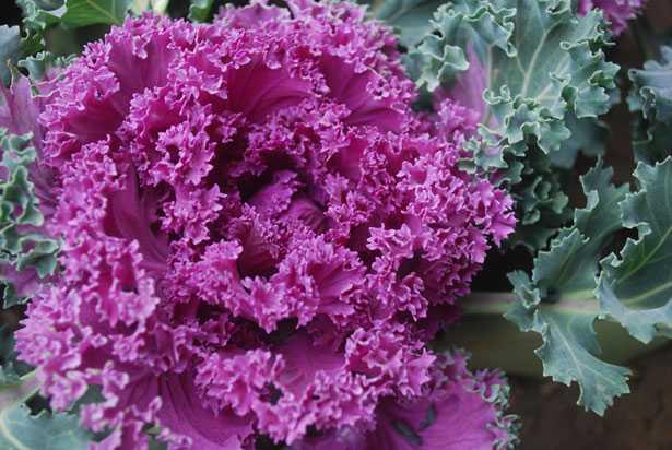 cavoli ornamentali per colorare il giardino d 39 inverno