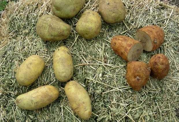 Search results for come coltivare patate in casa o in for Coltivazione goji in vaso