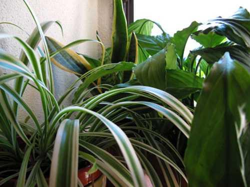 Benessere e piante da appartamento idee green for Piante verdi da appartamento facili da tenere
