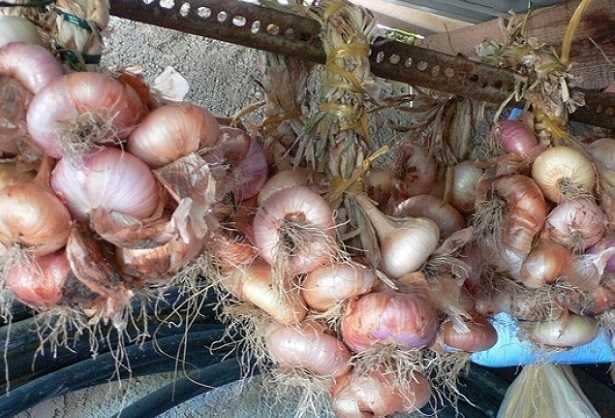 coltivazione-cipolle