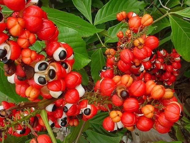 pianta e bacche di guaranà