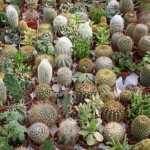 Curare le piante grasse idee green for Curare le piante