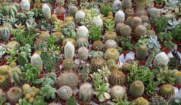 Curare le piante grasse idee green for Tutte le piante grasse