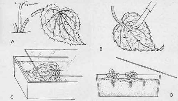 Le quattro fasi di una talea fogliare