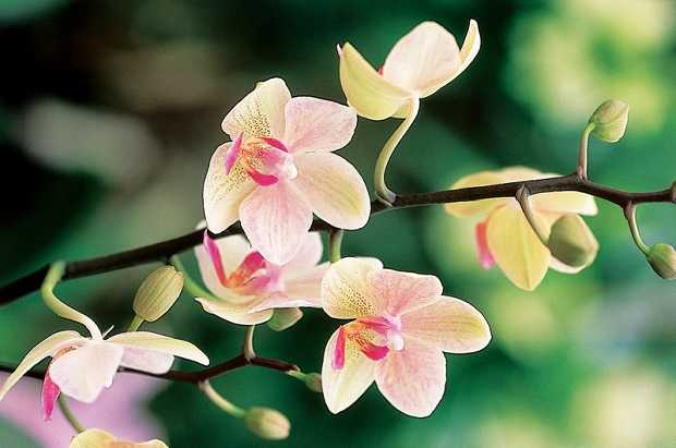 rinvasare orchidee