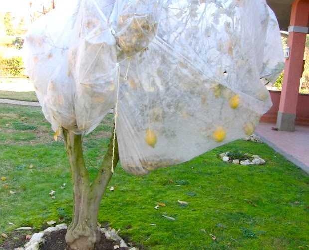 proteggere agrumi