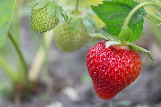 Come coltivare le fragole a partire dal seme