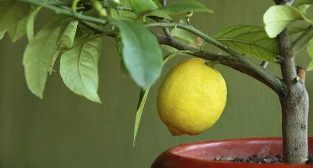 come curare agrumi in vaso