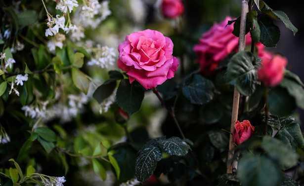 come potare le rose idee green