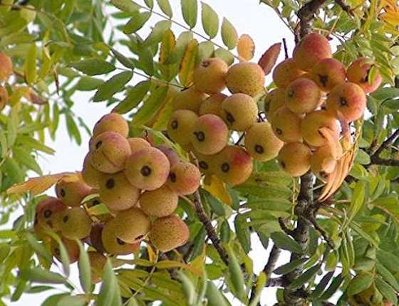 coltivare sorbo maturazione frutti