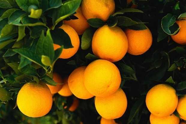 come coltivare i mandarini