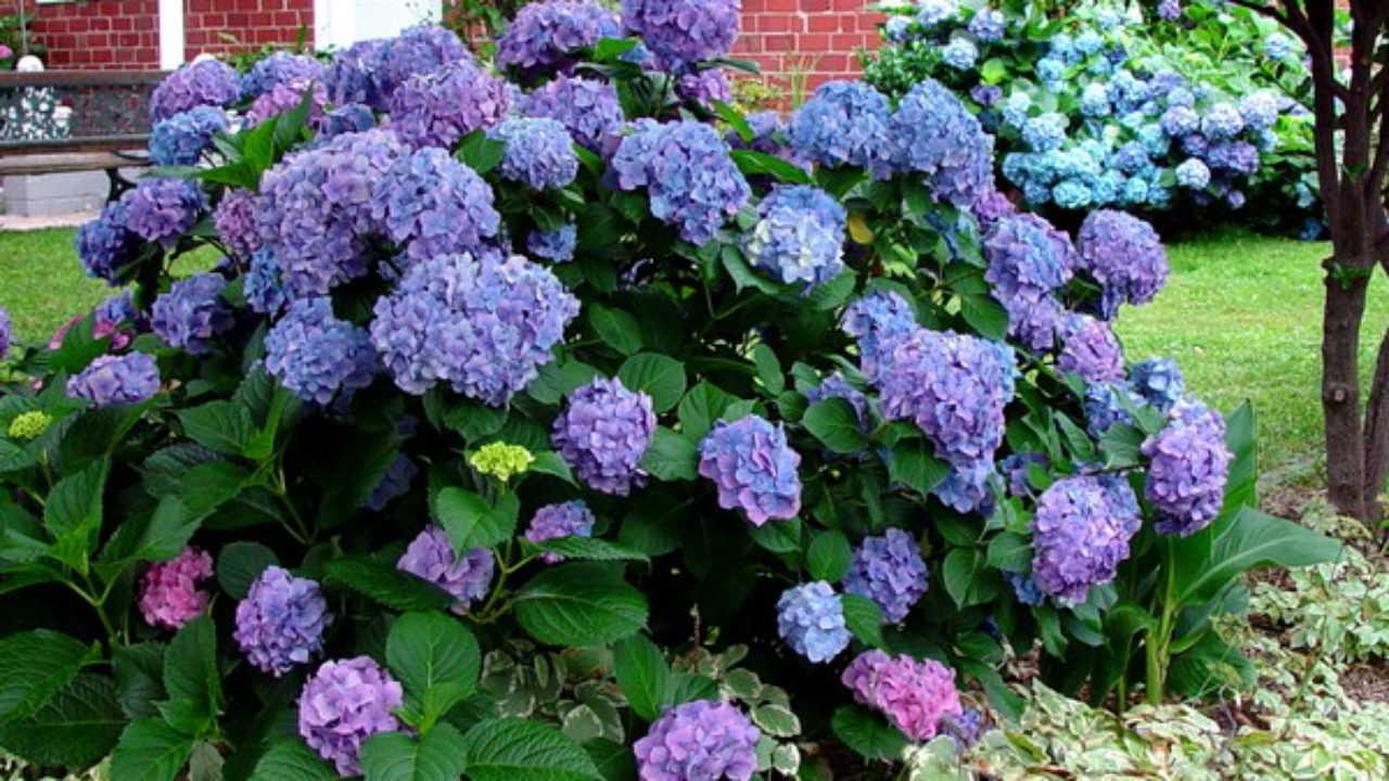 Ortensie Bianche Come Curarle come curare le ortensie in giardino e in casa - idee green