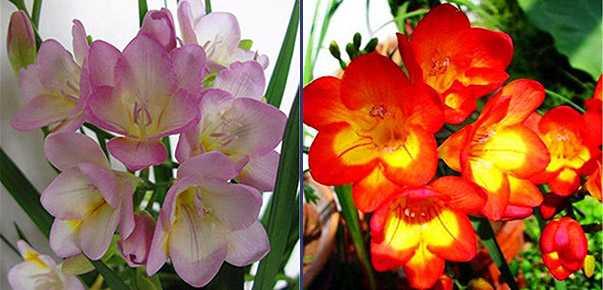 fresia in vaso coltivare