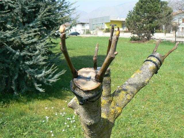 Innesto a spacco tutte le istruzioni idee green for Quando piantare alberi da frutto