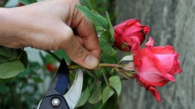 quando potare le rose