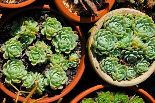 rinvasare succulente