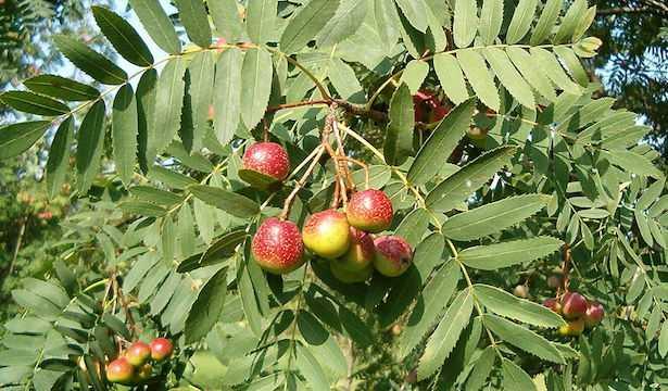 sorbo coltivazione pianta frutto