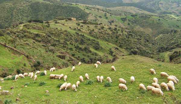 allevare pecore