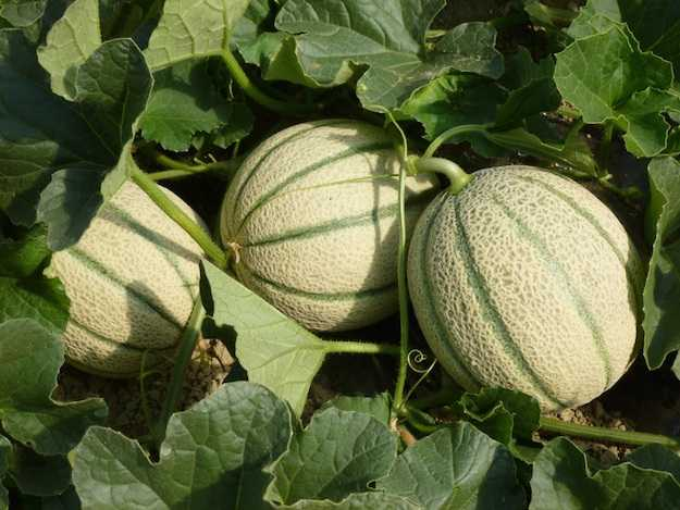 coltivare il melone come e quando idee green
