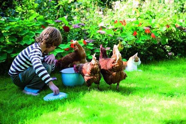 come allevare le galline all'aperto