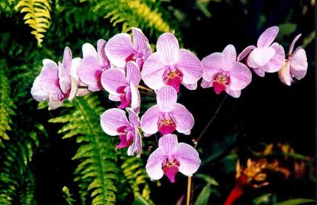 Come curare le orchidee idee green - Come curare un orchidea in casa ...