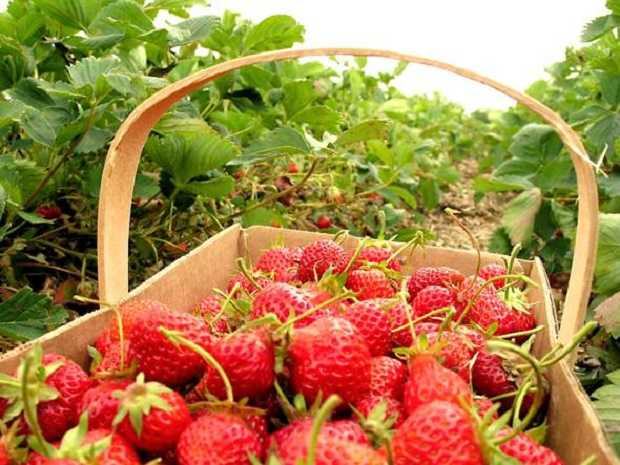 Come piantare le fragole in giardino idee green for Piantare le fragole