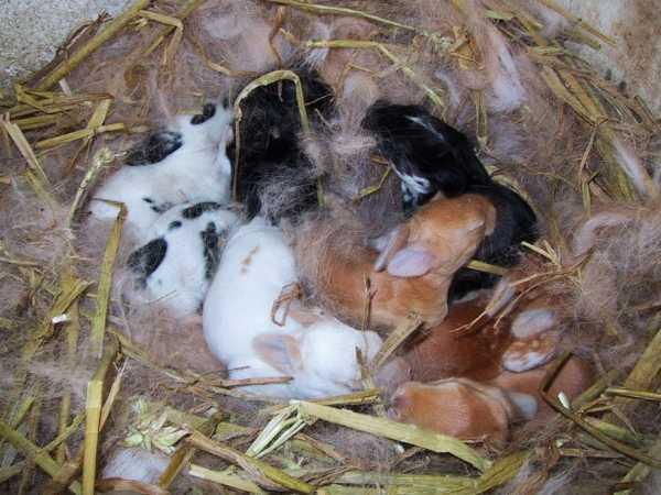 riproduzione del coniglio allevamento