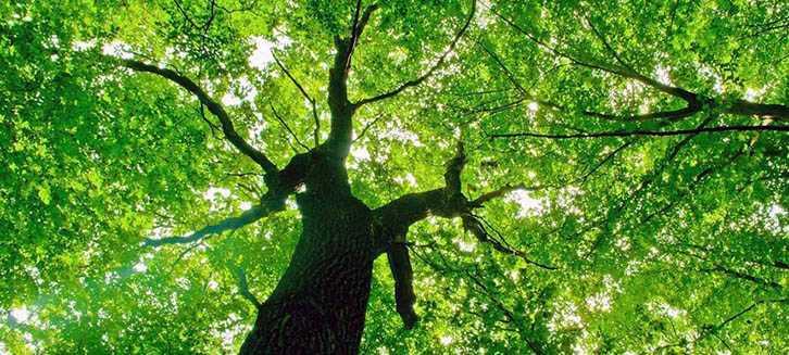 Come coltivare il tiglio idee green for Tiglio albero