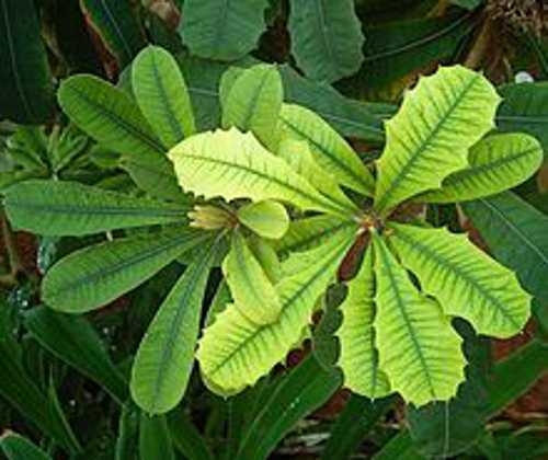 foglie gialle piante da appartamento