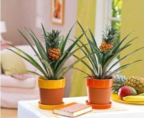 Come creare una pianta di ananas in vaso idee green - Come curare un orchidea in casa ...