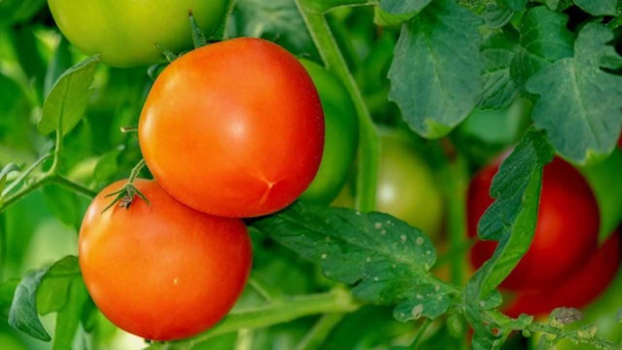 Come Coltivare Pomodori Sul Balcone come coltivare il pomodoro - idee green
