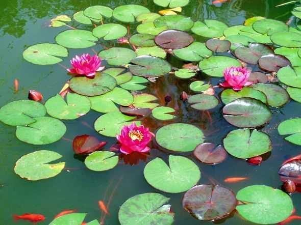 Piante acquatiche per il laghetto idee green for Immagini di laghetti artificiali