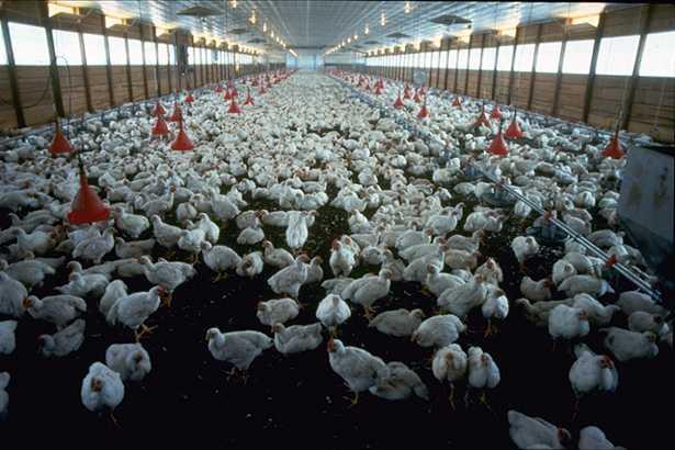 allevamento-polli-mercato-della-carne