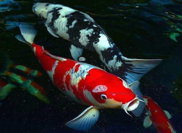 Carpe koi pesci giapponesi coloratissimi idee green for Allevamento carpe koi