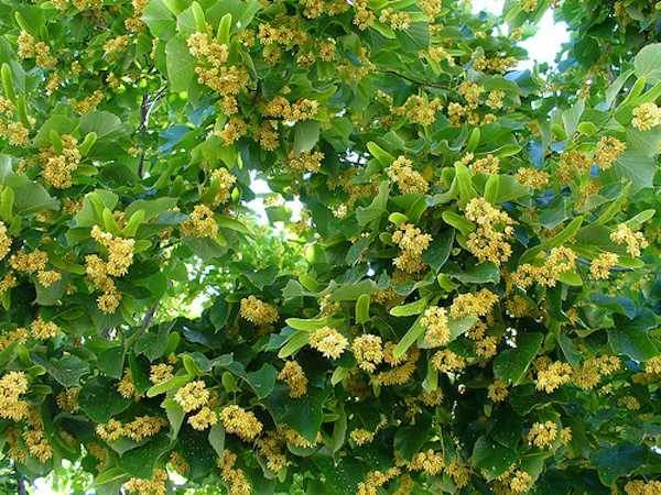 fiori di tiglio raccolta