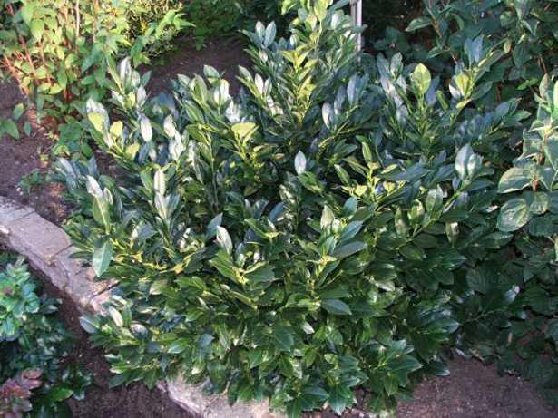 Arbusti sempreverdi da siepe come moltiplicarli idee green - Sempreverde da giardino ...
