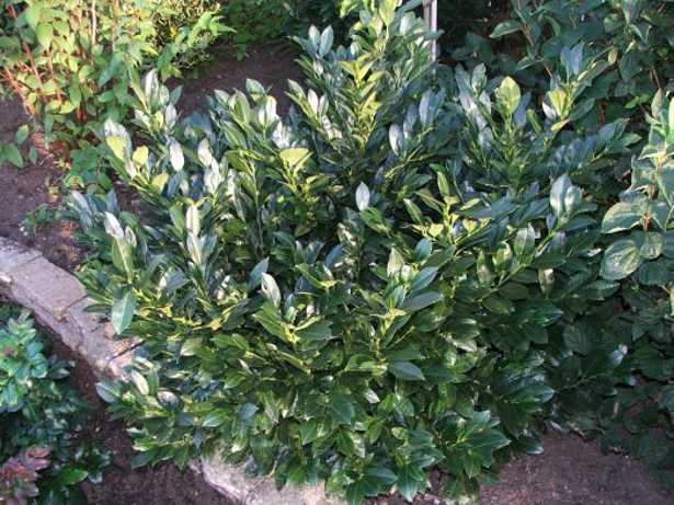 Arbusti sempreverdi da siepe come moltiplicarli idee green - Arbusti sempreverdi da giardino ...
