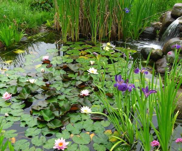 Piante acquatiche da laghetto schede e foto idee green for Immagini di laghetti artificiali