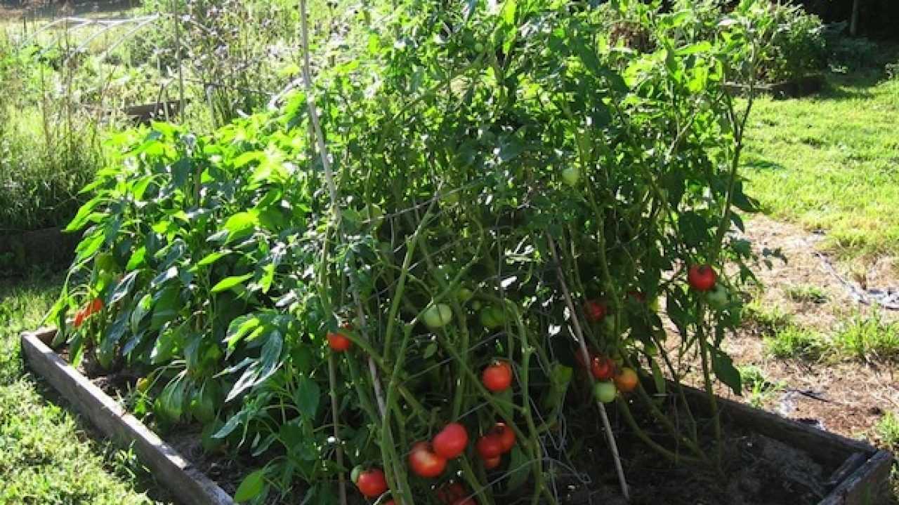 Sostegni Per Pomodori In Vaso tutori per pomodori: come posizionarli - idee green
