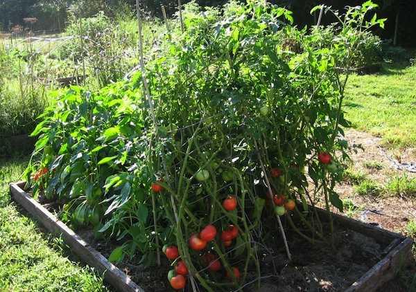 piante-pomodori