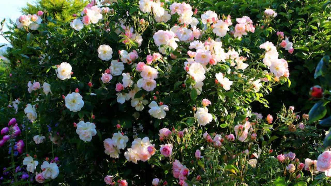 Rose Rampicanti Senza Spine rose cespuglio profumate