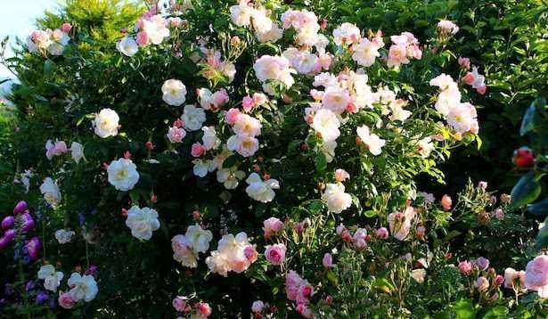 rose da giardino caspugli