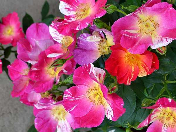 rose da giardino profumate