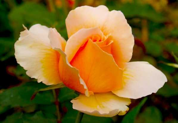 Tipi di rose come scegliere idee green for Tipi di fiori