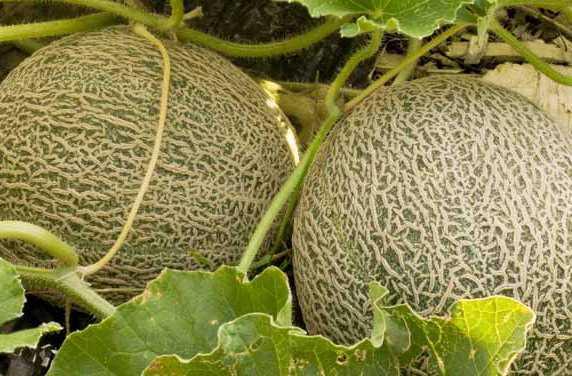 come coltivare melone